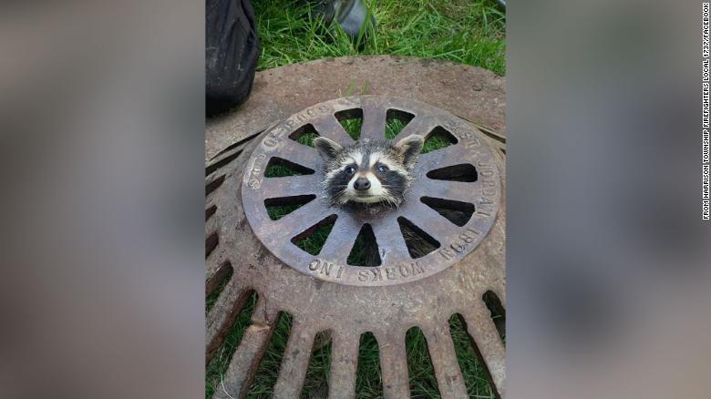 Un pui de raton blocat în capacul de canalizare a fost eliberat de pompieri