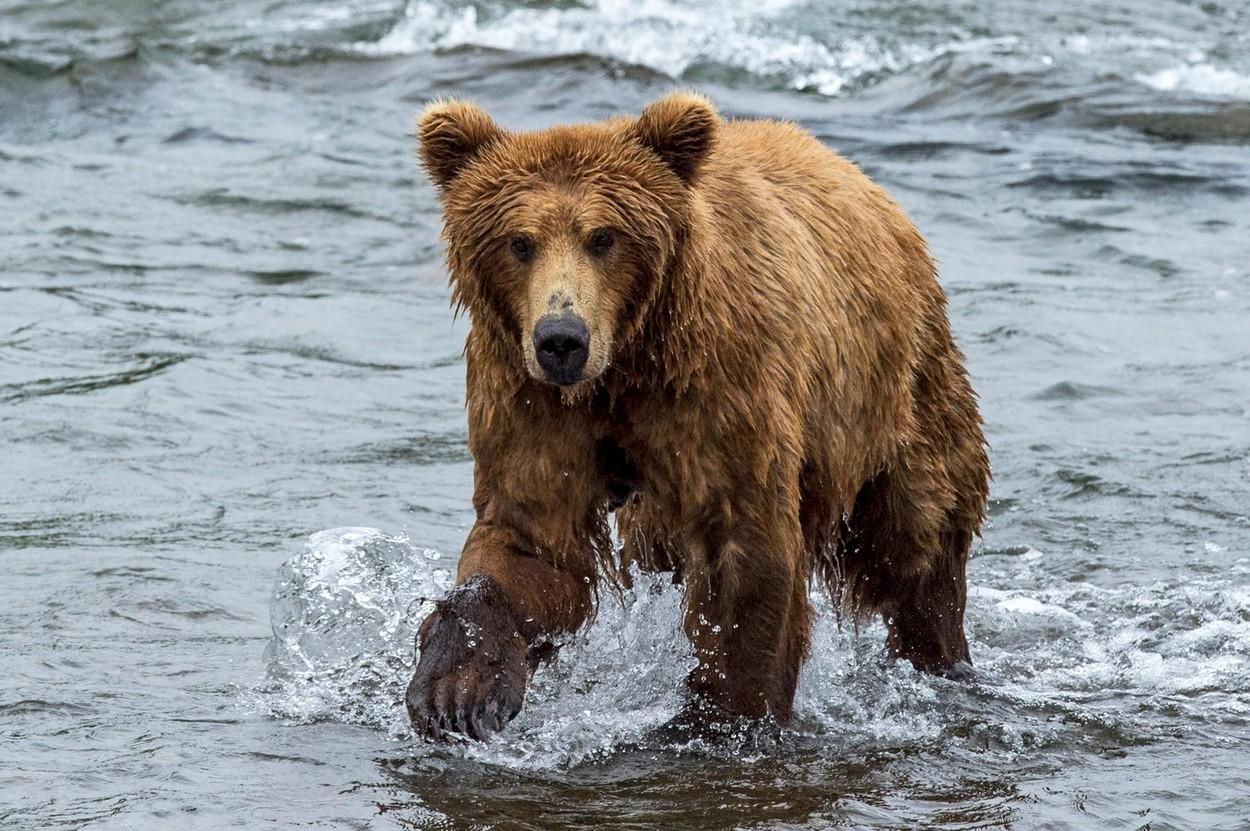 Ministrul Mediului vrea ca urșii din România să poată fi împușcați în 24 de ore. Am putea avea urși și în Delta Dunării