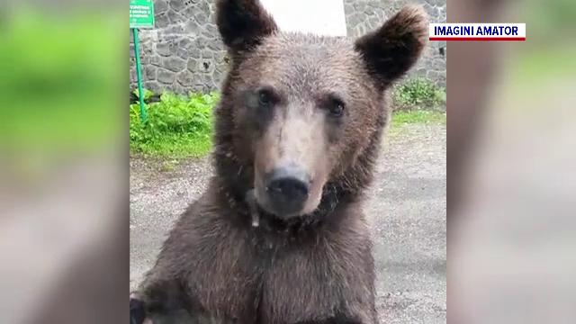 Urșii au devenit o prezență obișnuită în stațiuni. Jandarmii fac zeci de patrulări zilnic