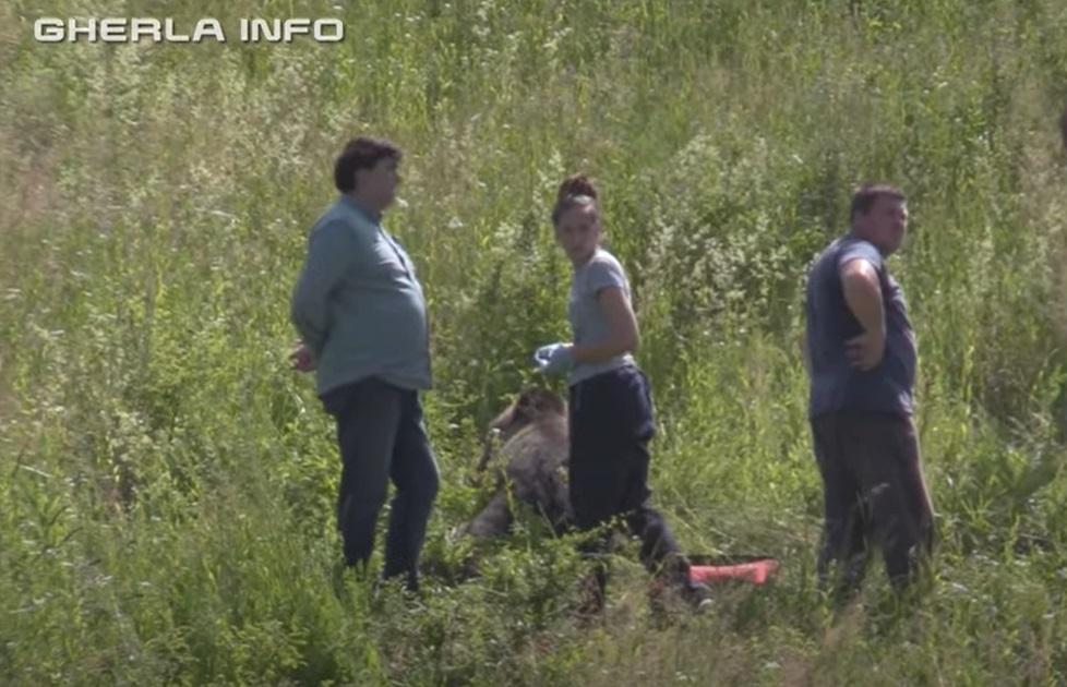 Un urs de 250 de kg a murit după ce a fost lovit de o mașină, în Cluj. VIDEO și GALERIE FOTO