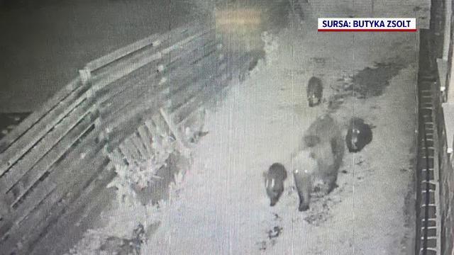 Stațiunea din țară unde urșii apar tot mai des. În noaptea de luni spre marți au fost date 4 avertismente tip Ro-Alert