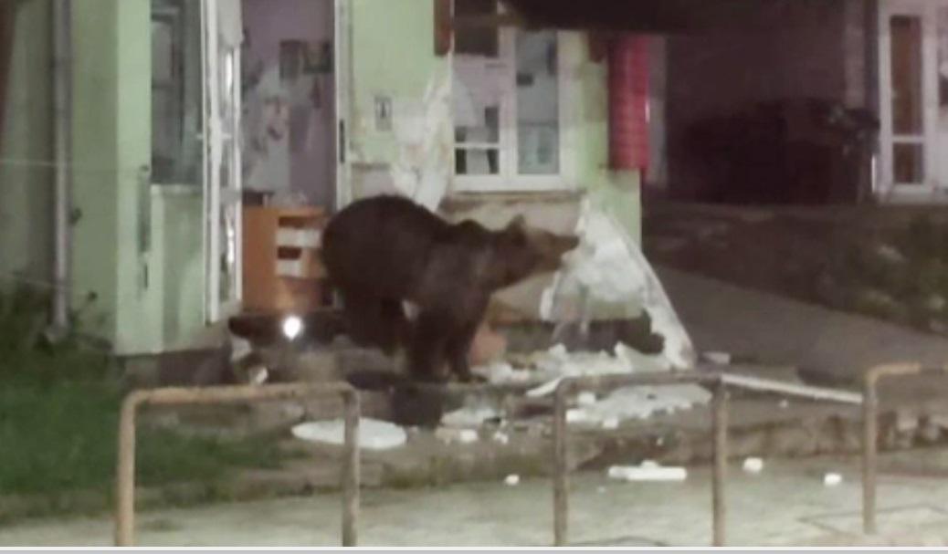 O ursoaică a intrat într-o cofetărie din Harghita. La plecare, a luat cu ea și câteva dulciuri