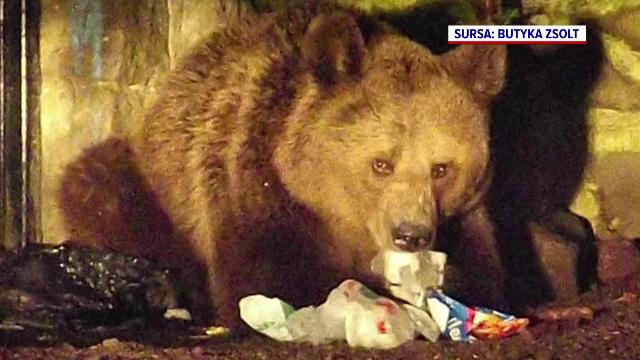 Tot mai mulți urși în Tușnad. Animalele au făcut ravagii în 35 de locuri