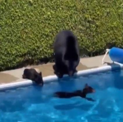 Canada se topește la 47 de grade. O ursoaică și puii săi au intrat într-o curte și s-au răcorit într-o piscină