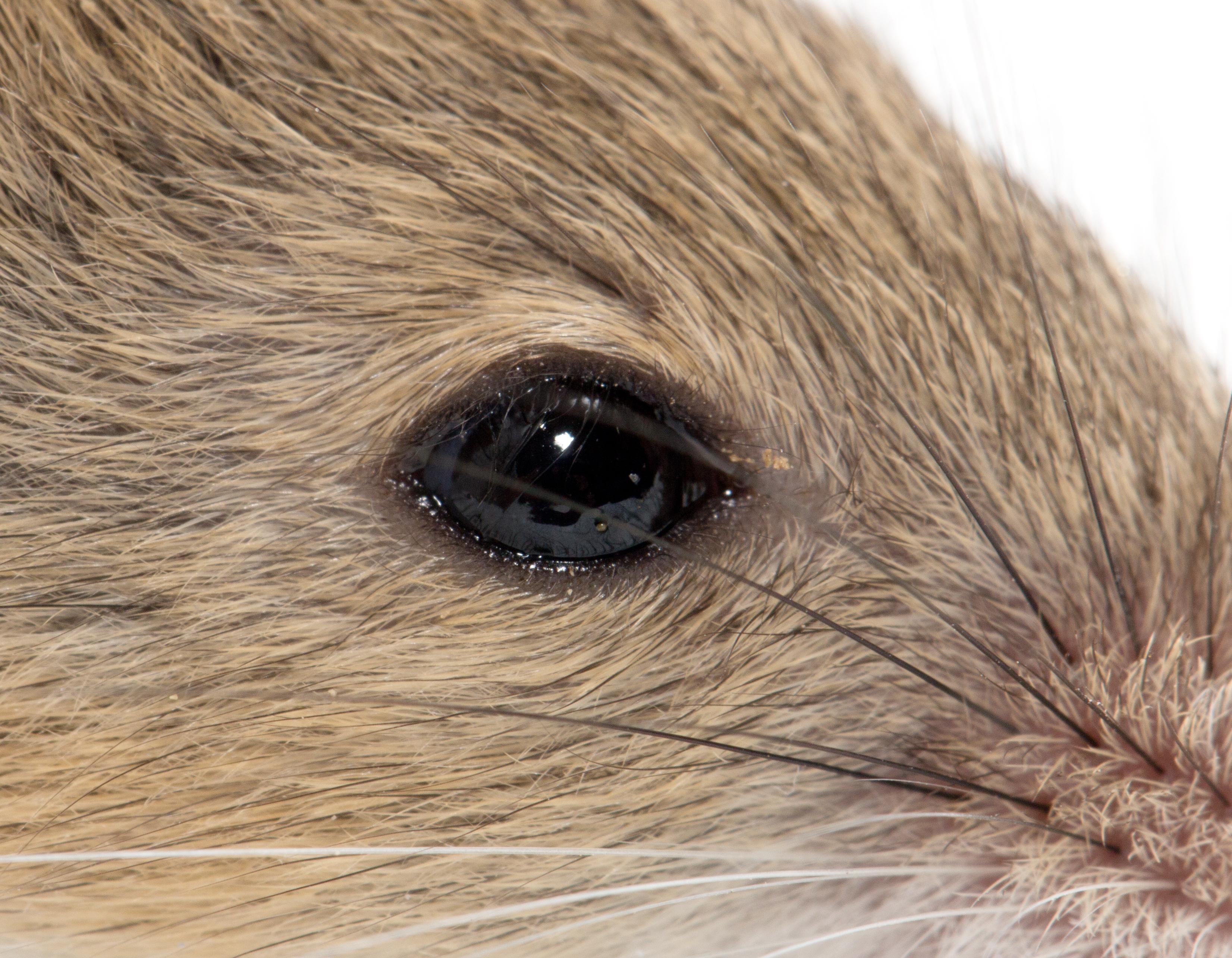O specie de șoarece considerată dispărută acum 150 de ani a fost redescoperită