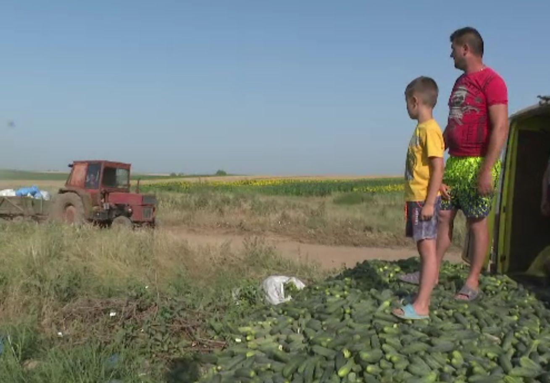 Agricultorii aruncă castraveții pe câmp, din cauza prețului cu care ar trebui să-i vândă