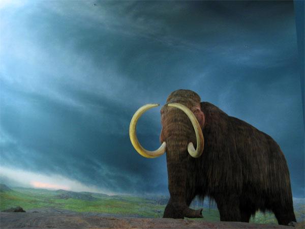 Un pui de mamut face furori in Chicago