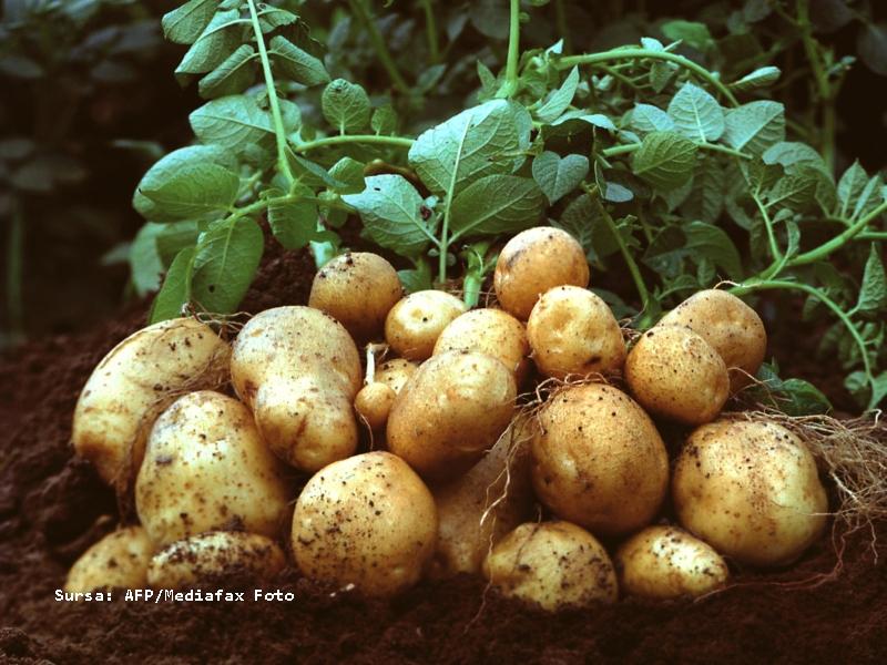 Cartoful modificat genetic ar contine o gena rezistenta la antibiotice