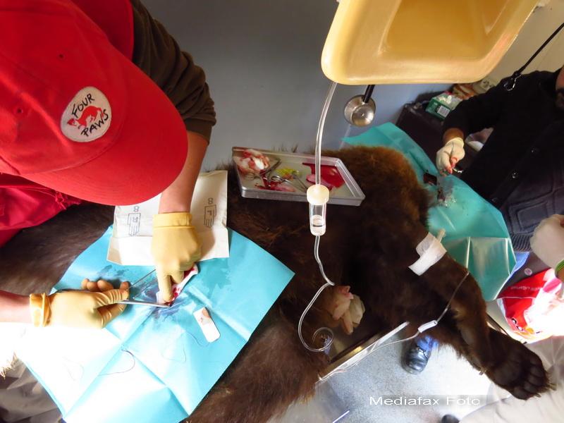 Ursul Baloo luat de pe proprietatea lui Nutu Camataru a fost operat si sterilizat