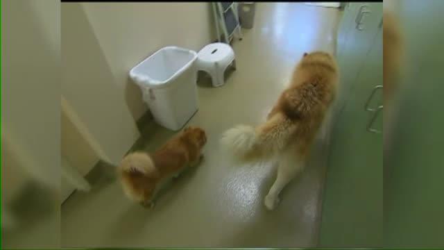 Un husky orb si-a gasit un prieten de incredere: un terrier care il insoteste peste tot