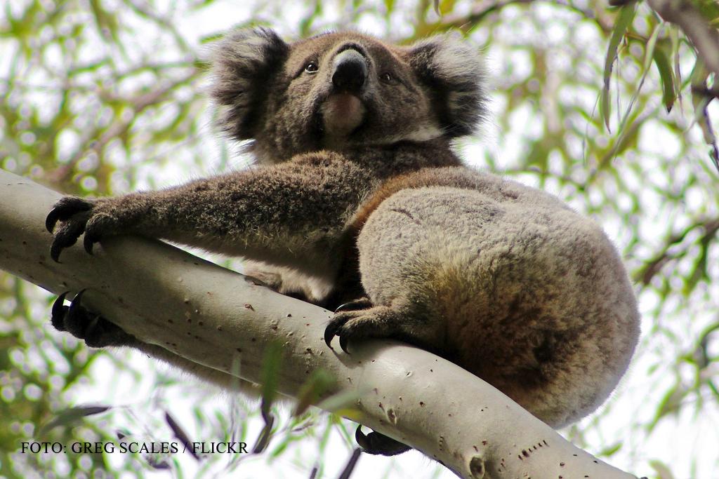 Sute de ursi koala au fost ucisi in SECRET de guvernul australian.