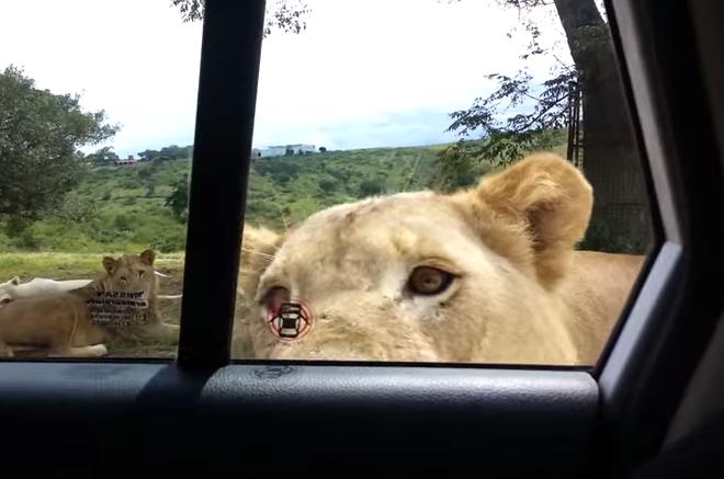 Stiai ca o leoaica poate sa deschida portiera unei masini? Imaginile spectaculoase filmate intr-un safari sud-african