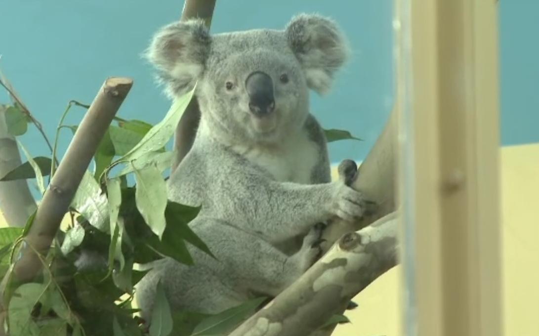 Noua atractie de la Gradina Zoologica din Budapesta: doi ursuleti koala. Doar 9 parcuri din Europa au astfel de animale