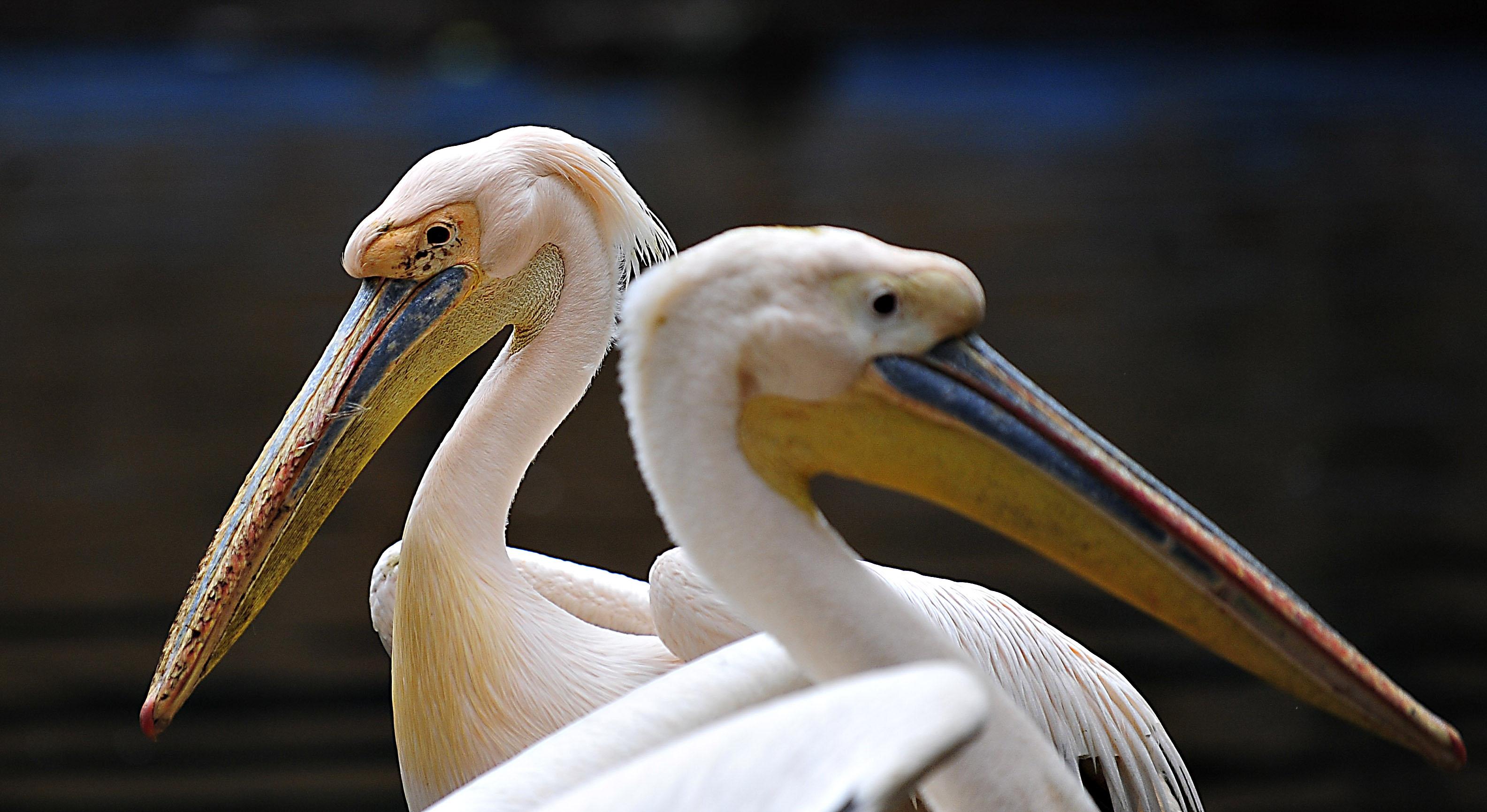 La o specie de pelicani din Delta Dunarii a fost depistata gripa aviara