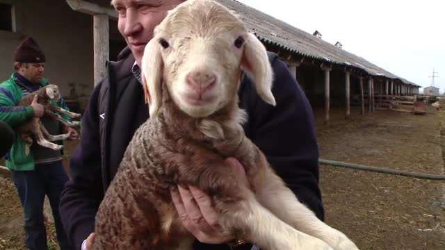 Oaia cu lana roz din Botosani e tot mai cautata. Locul unic in UE unde se fac incrucisari intre exemplare de mai multe culori
