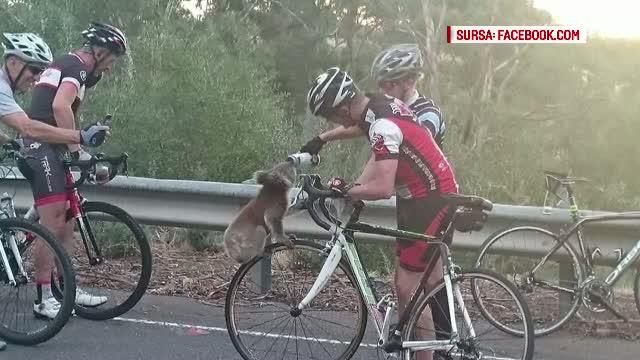 Un ursulet koala a cucerit internetul, dupa ce a fost fotografiat pe bicicleta unui australian. Ce isi dorea ursul
