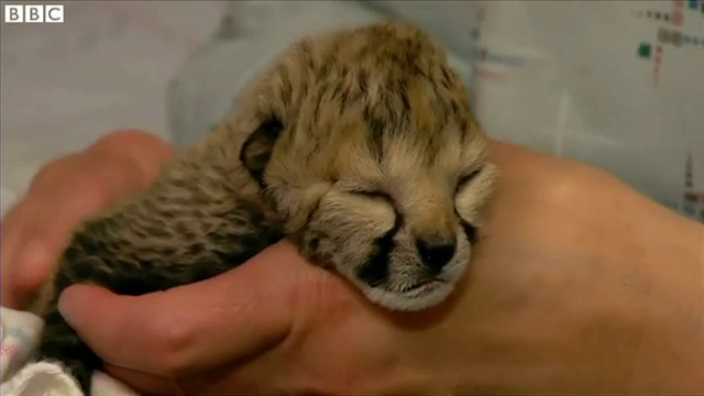 Cinci pui de ghepard, nascuti prematur la Zoo Cincinnati. Ce au facut veterinarii pentru a-i salva