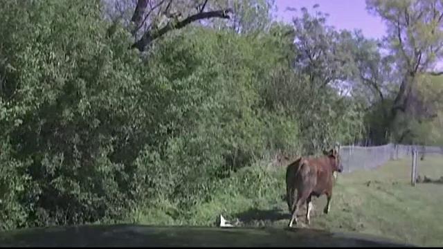 Confruntare intre o vaca naravasa si un politist din Texas care trebuia sa o prinda. Cine a izbandit pana la urma