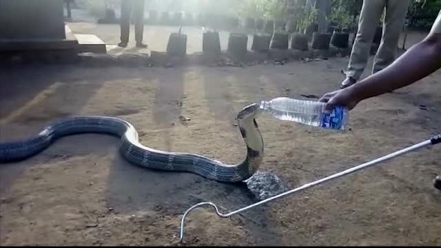 Imagini incredibile filmate intr-un sat din India. Localnicii au imobilizat o cobra si i-au dat sa bea apa dintr-o sticla
