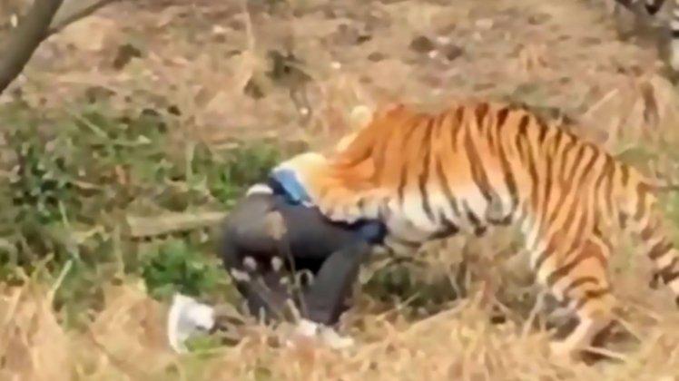 Bărbat mâncat de tigri, după ce a încercat să intre la ZOO sărind gardul