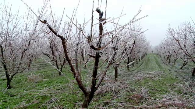 Dezastru în livezi. Am putea rămâne fără mere, cireșe sau prune