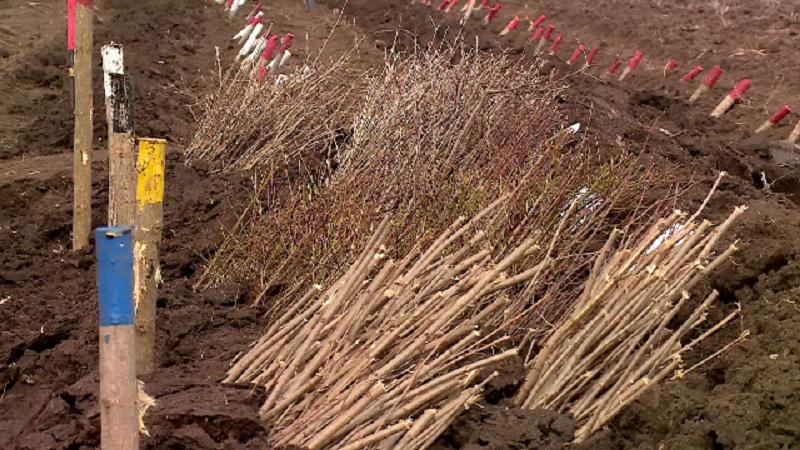 Romsilva a plantat doar 15 km de perdele forestiere în 17 ani. Explicația ministrului Pădurilor