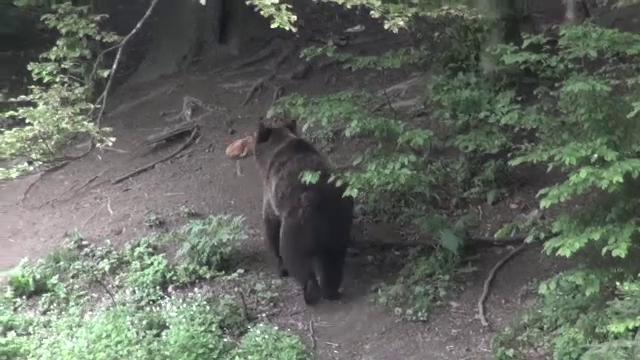 Condamnare la moarte pentru ursul care a ucis un tânăr. Localnicii spun că era vina lui