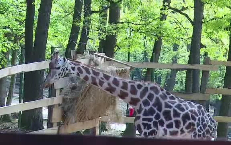 Singura girafa din Romania a murit. Gina avea 10 ani si a avut parte de un sfarsit groaznic