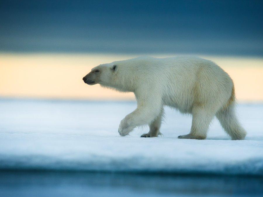 Urșii polari ar putea dispărea până la sfârșitul acestui secol, din cauza încălzirii globale