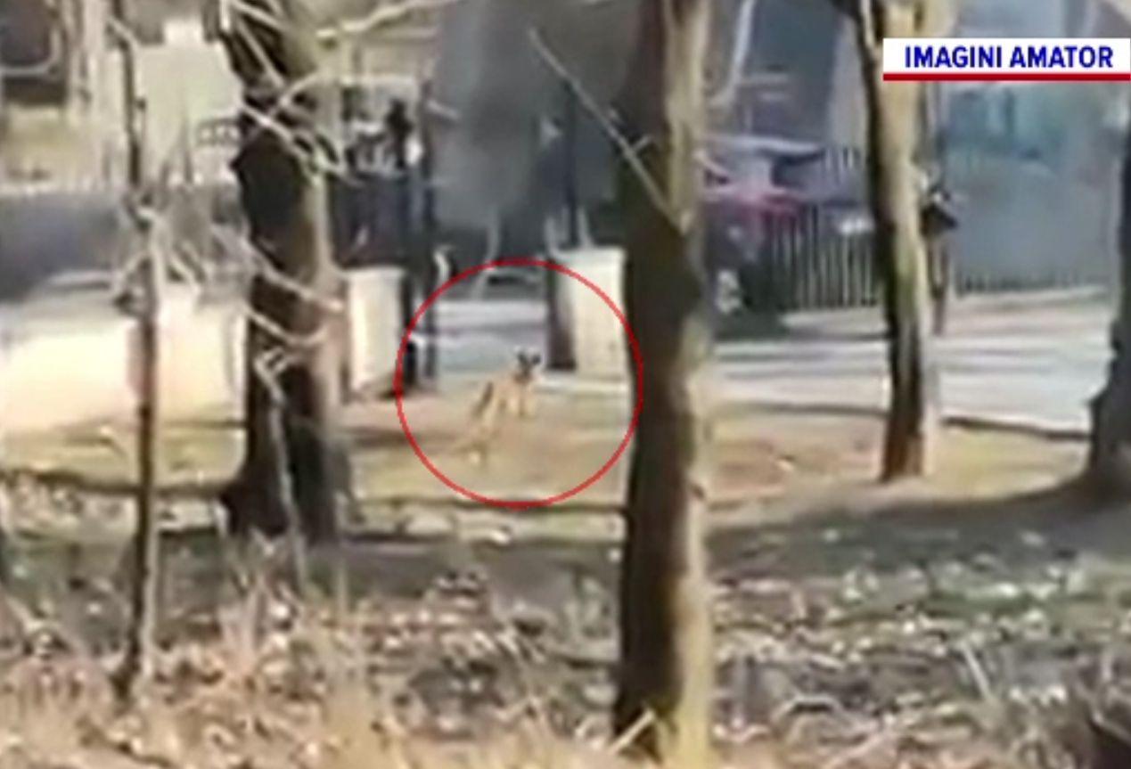 Două vulpi filmate la plimbare prin parc, în Craiova. Avertismentul specialiștilor