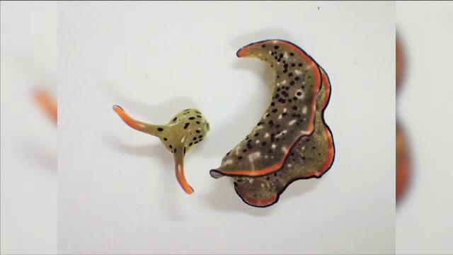 Unii melci de mare îşi pot reconstrui corpul după decapitare