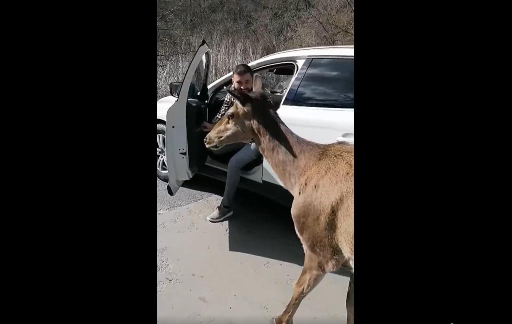 Apariție neobișnuită pe un drum din Valea Arieșului. O căprioară a stat să fie filmată și mângâiată de trecători VIDEO