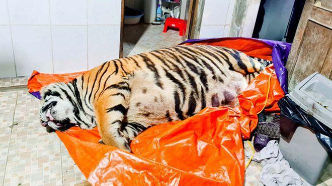 Un vietnamez, pus sub acuzare, după ce în casa sa a fost descoperită o carcasă de tigru de 250 de kilograme