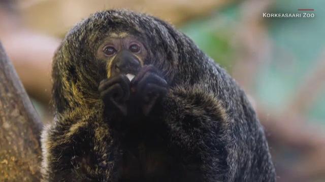 Experiment în Finlanda. Cum au reacționat maimuțele de la zoo când li s-au arătat filmulețe cu mâncare