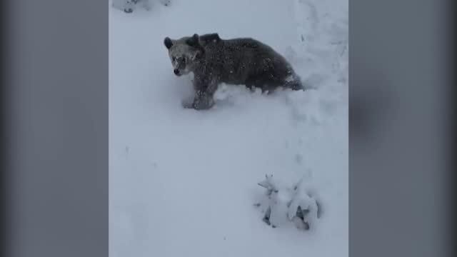 Ursul și-a făcut din nou apariția la Predeal. Un schior din telescaun a început să strige pentru a-i alerta pe toți