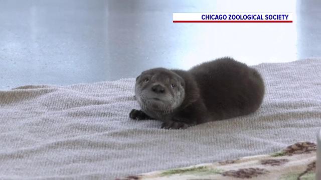 Cel mai nou locatar al grădinii zoo din Chicago, o vidră, a primit numele Pascal. Cum a fost ales