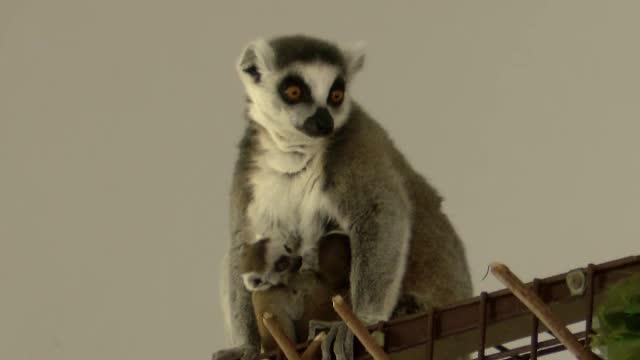 Doi lemurieni gemeni s-au născut la grădina zoologică din Sibiu. De ce este un eveniment rar