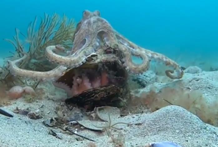 Imagini rare cu două caracatițe care se împerechează în adâncuri. Totul se termină tragic însă