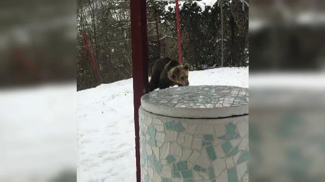 """Alertă în orașul Târgu Mureș, după ce un urs a intrat în mai multe gospodării: """"Când ieșim ne uităm peste tot"""""""