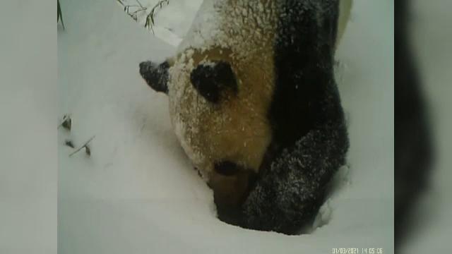 VIDEO. Momentul în care un urs panda scormonește prin zăpadă pentru a ajunge la un loc de adăpat