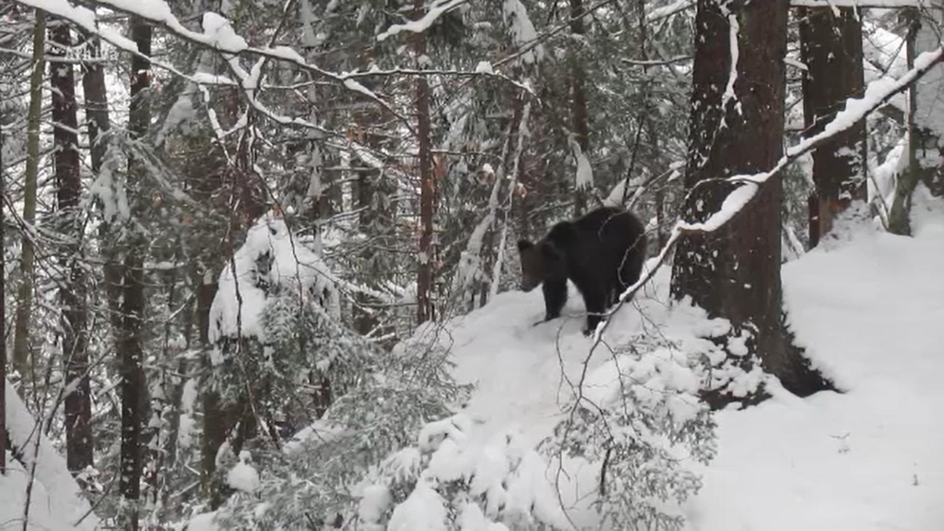 Se înmulțesc atacurile urșilor aflați în căutare de hrană. Ce au pățit mai mulți oameni din Buzău