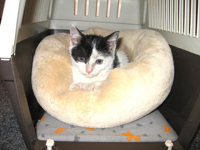 Ma iei acasa? Clara, o pisicuta de aproape trei luni, are nevoie de tine!