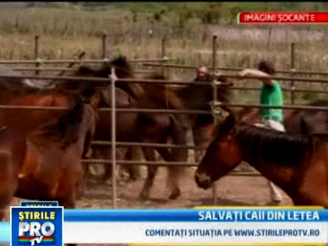 Caii salbatici din padurea Letea sunt din nou in pericol. Localnicii revendica animalele
