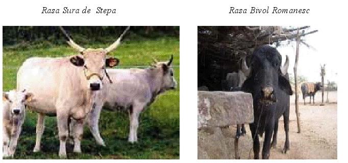 Vaca baltata si albina carpatina, exemplare extraordinare pe care Romania le pierde din nepasare