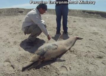 Dezastru natural. 877 de delfini esuati pe o plaja din Peru. Autoritatile ridica din umeri