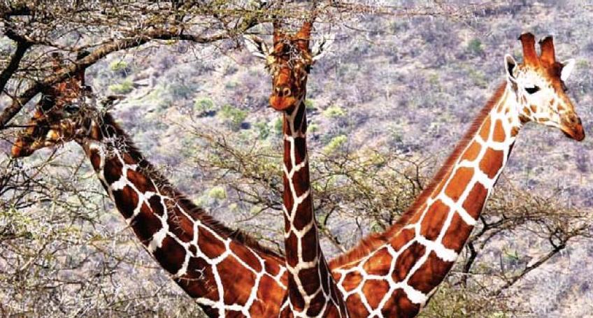 Imaginea anului in Africa: Un turist a surprins pe camera girafa cu trei capete