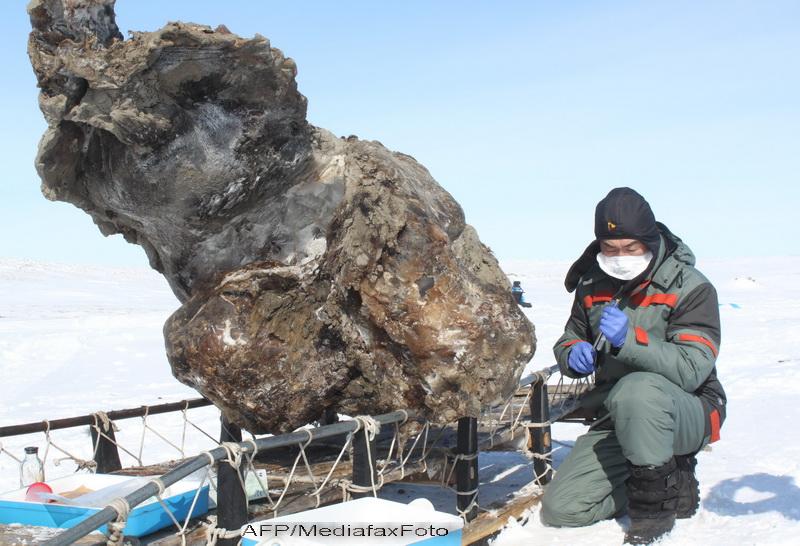 Premiera mondiala. Savantii au recuperat mostre de sange din trupul unui mamut perfect conservat