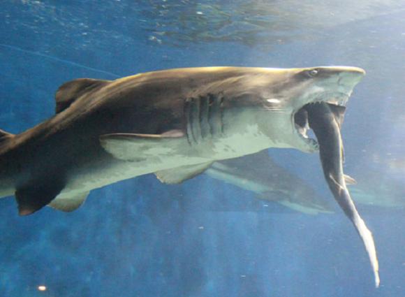 Imagini rare, intr-un parc acvatic din Japonia. Un rechin-tigru a incercat sa-si potoleasca foamea cu un alt rechin
