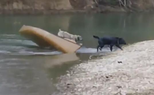 VIDEO. Momentul in care un labrador curajos sare in ajutorul unor caini izolati intr-o barca