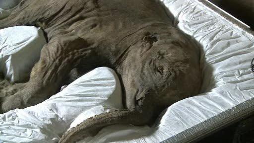 Mamut perfect conservat, mort in urma cu 42.000 de ani, expus publicului. Povestea Lyubei, dezvaluita de oamenii de stiinta